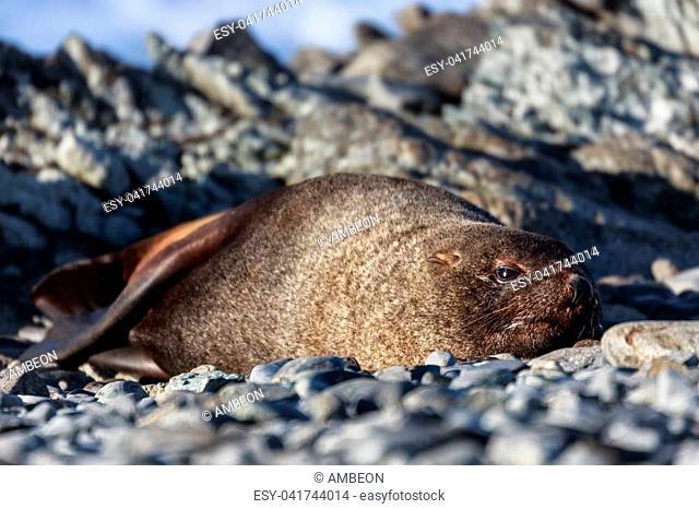 Resting seal on a beach at Half Moon Island, Antarctic