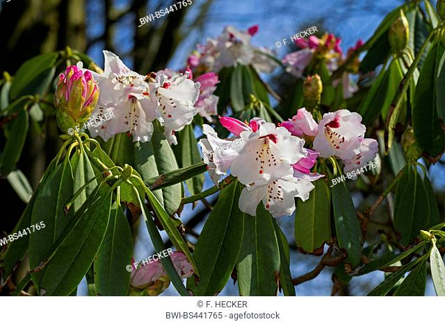 Sichuan Rhododendron (Rhododendron sutchuenense), blooming