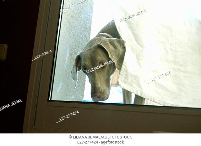 Weimaraner breed dog looking from a window door behind a curtain