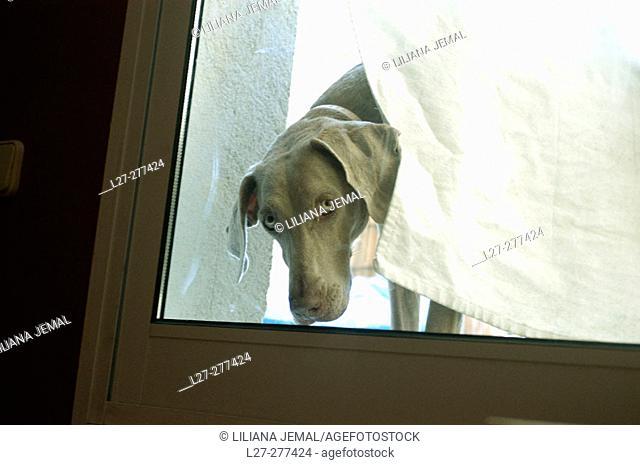 Weimaraner breed dog looking from a window door behind a curtain