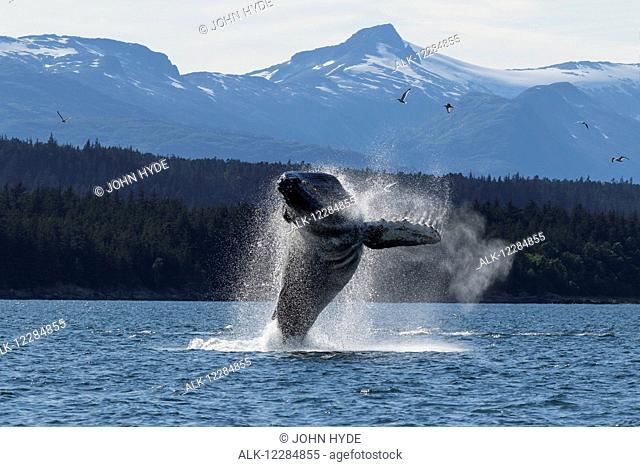 A Humpback whale leaps from the calm waters of the Inside Passage near Juneau, Southeast Alaska, summer