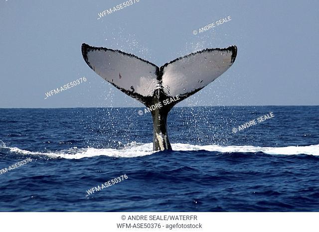 Humpback whale, Megaptera novaeangliae, Kailua Kona, Big Island, Hawaii, USA