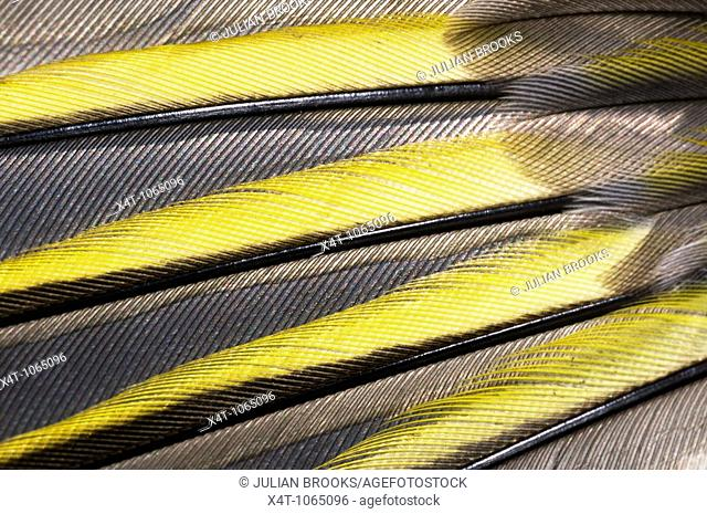 Wing feathers of the European Greenfinch, Carduelis chloris, close up