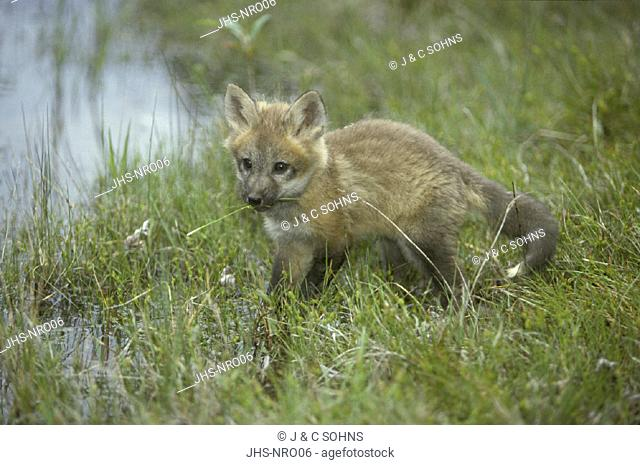 American Red Fox , Vulpus fulva , Utah , USA , young , pup