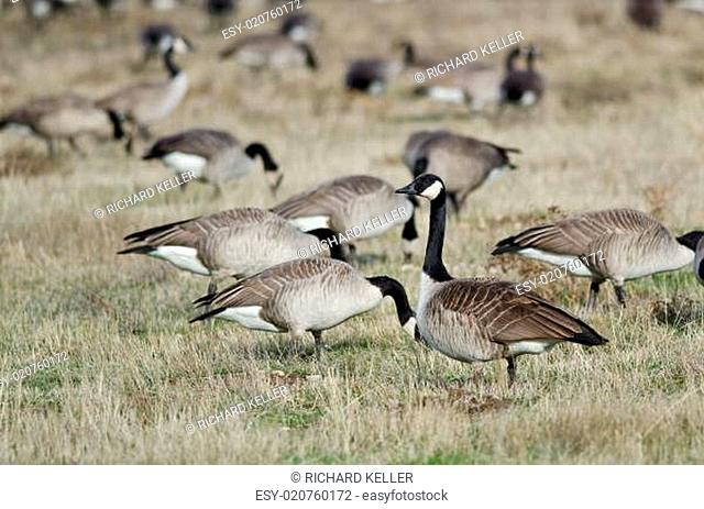 Canada Geese Feeding and Resting in the Autumn Field