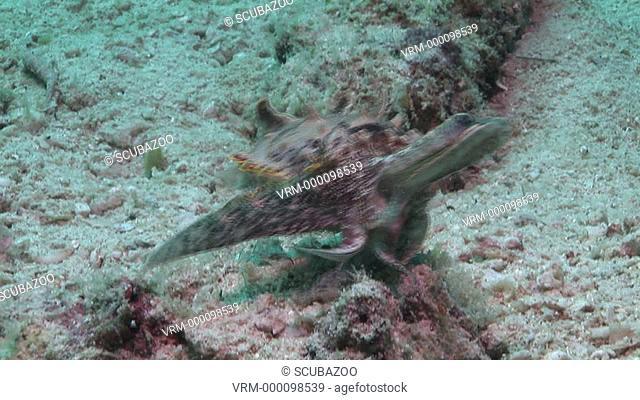 Flamboyant cuttlefish Metasepia pfefferi camouflage and hunting. Kapalai, Borneo, Malaysia