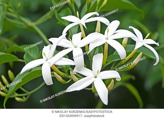 Twisted jasmine (Jasminum tortuosum). Called African jasmine and Perfume jasmine also