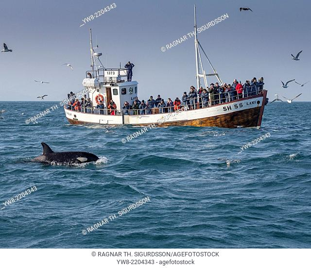Orca Whale and Whale Watching Boat, Grundarfjordur, Snaefellsnes Peninsula, Iceland