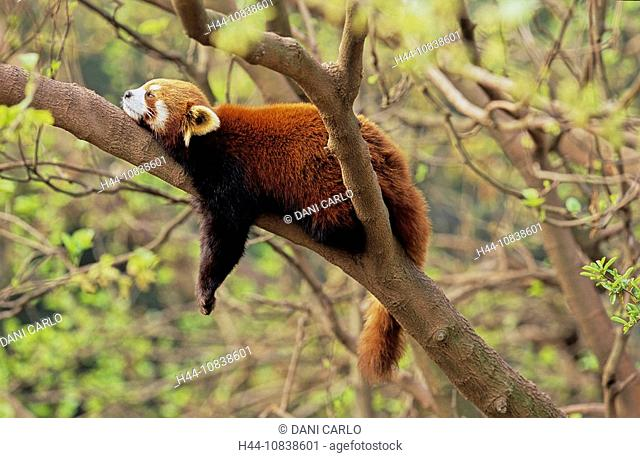Lesser Panda, Ailurus Fulgens, Red Panda, Wolong, Sichuan, China, Asia, one animal, sleeping, trees