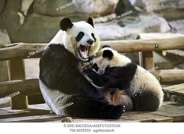 Giant panda cub Yuan Meng suckling its mother Huan Huan (Ailuropoda melanoleuca). Yuan Meng, first giant panda ever born in France, is now 8 months old