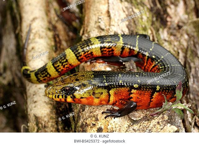 Great fire lizard, Rose-Sided Galliwasp (Diploglossus monotropis), sits on a branch, Costa Rica