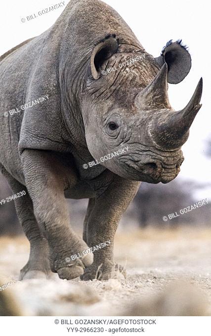 Black Rhino (Diceros bicornis) - eastern side of Etosha National Park, Namibia, Africa