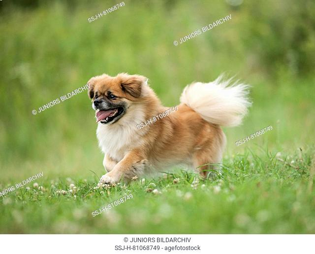 Tibetan Spaniel. Adult dog running on a meadow. Germany