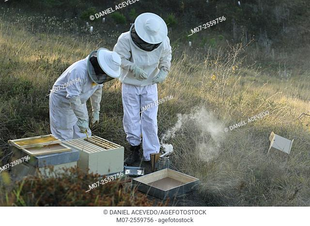 Spanish Beekeepers working at beehives site. La Rioja, North of Spain, Europe