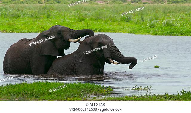 AFRICAN ELEPHANTS PLAYING IN WATER; AMBOSELI, KENYA, AFRICA; 03/02/2016