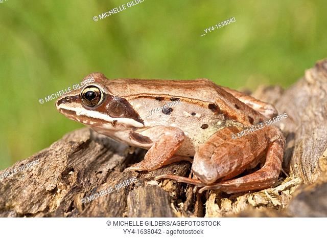 The wood frog, Rana sylvatica, is found throughout North America, from the southern Appalachians to the boreal forest
