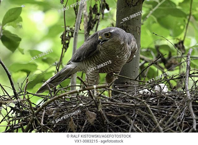Sparrowhawk ( Accipiter nisus ), adult female, perched on the edge of its nest, eyrie, turning around, watching attentively, sharp eyes, wildlife, Europe
