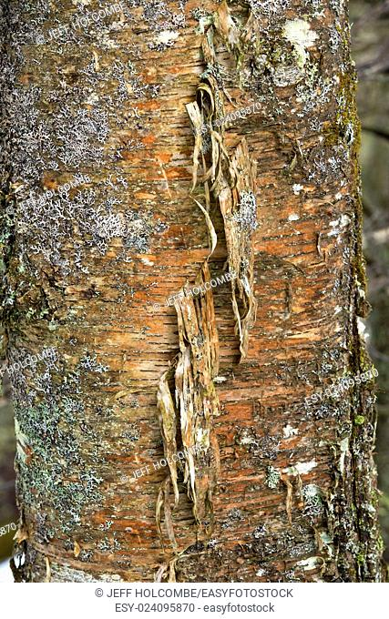 Colorful bark of yellow birch, Betula alleghaniensis, with gray lichens and peeling strands, Rangeley, Maine