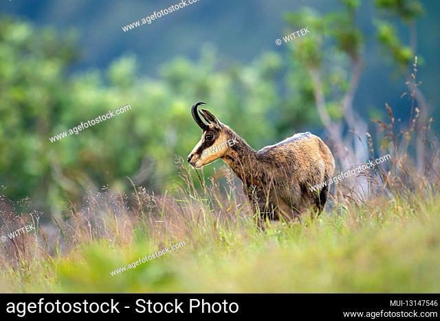 Chamois, (Rupicapra rupicapra), wildlife, Vosges, France