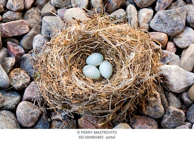 Close-up of Housefinch - Haemorhous mexicanus bird nest with three eggs on bed of river stones, Quebec, Canada