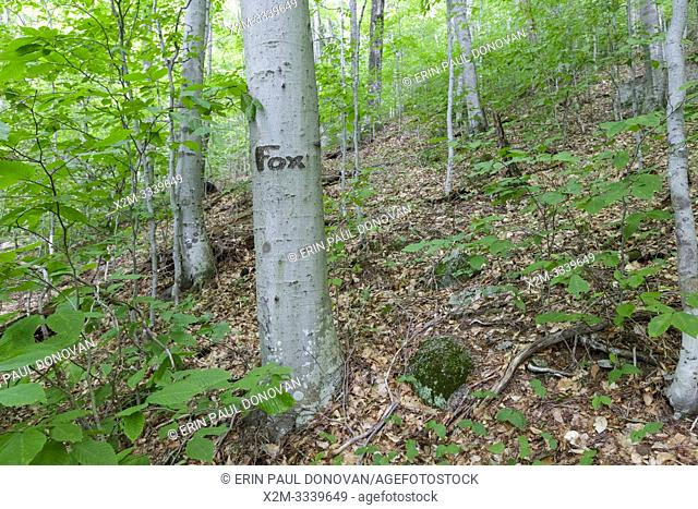 The word Fox carved into a beech tree along the old Osseo Trail in Lincoln, New Hampshire. Cut in the early 1900s, this portion of the Osseo Trail began near...