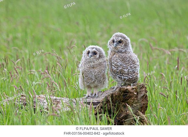 Tawny Owl Strix aluco two chicks, perched on fallen tree stump, England, june captive