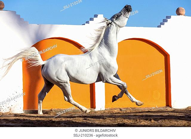 Arabian Horse. Gray stallion in a paddock, showing display behavior by fidgeting with its head. Egypt