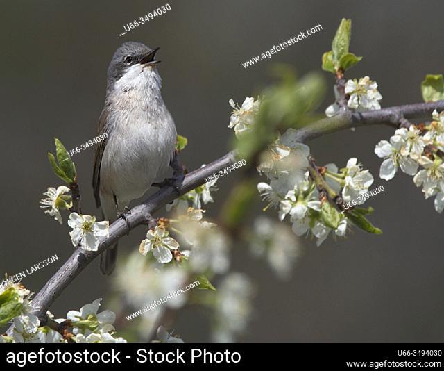 Garden warbler (sylvia borin). Stockholm, Sweden