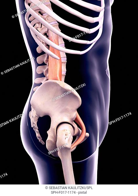 Illustration of the psoas major muscle