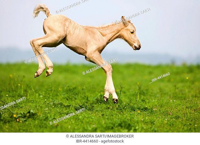Palomino Morgan horse foal jumping, green meadow, Tyrol, Austria