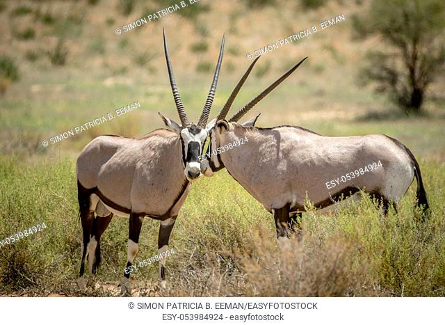 Two Oryx bonding in the Kalagadi Transfrontier Park, South Africa