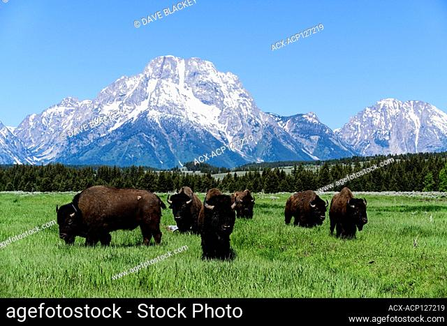 A herd of bison in a field with Mt. Moran in the background in Grand Teton National Park near Jackson Hole, Wyoming USA