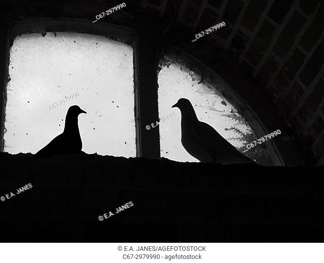 Fan-Tailed Pigeons in an historic Dovecot window Felbrigg Norfolk