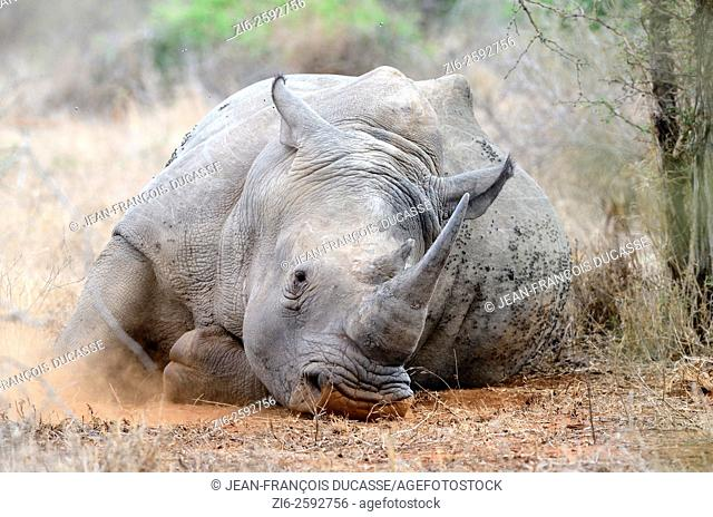 White rhinoceros or Square-lipped rhinoceros (Ceratotherium simum), lying down, asleep, covered with flies, Kruger National Park, South Africa, Africa