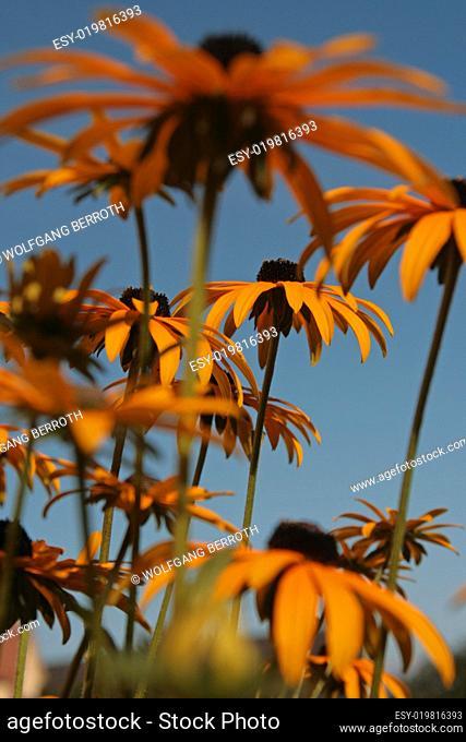Rudbeckia - Blüten