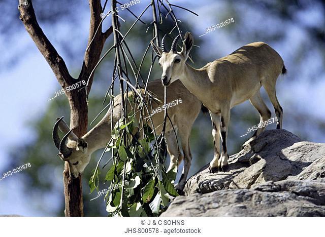 Nubian Ibex Capra ibex nubiana Africa