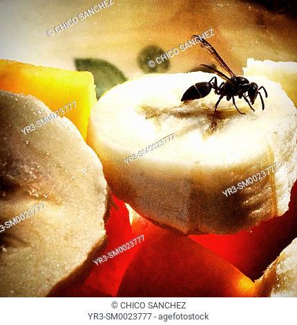 A black wasp eats from a banana un Santa Elena, Yucatan, Mexico
