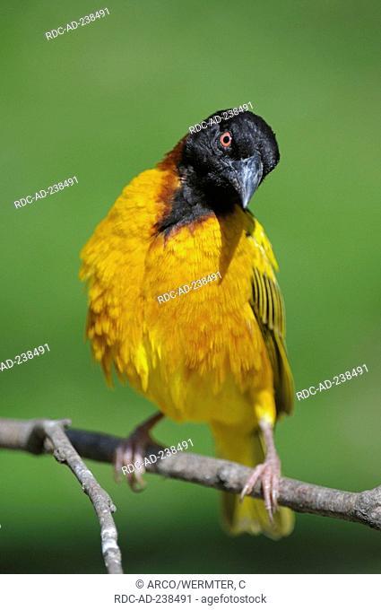Village Weaver, male / Ploceus cucullatus, Textor cucullatus