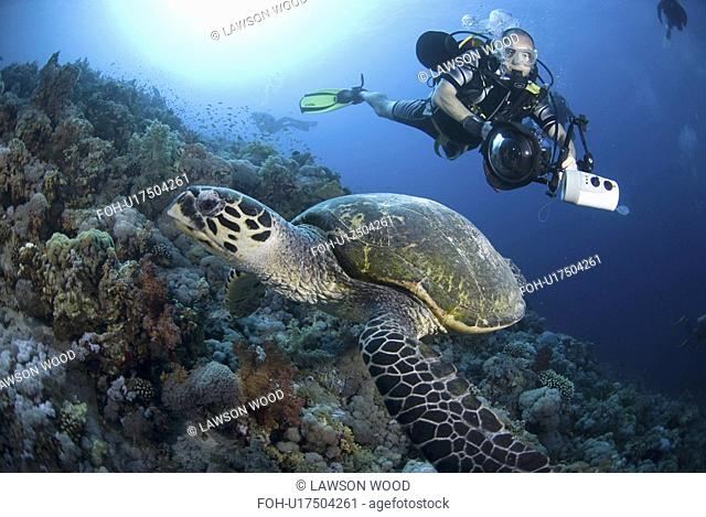 Underwater Photographer and Hawksbill turtle on Red Sea coral reef, Red Sea