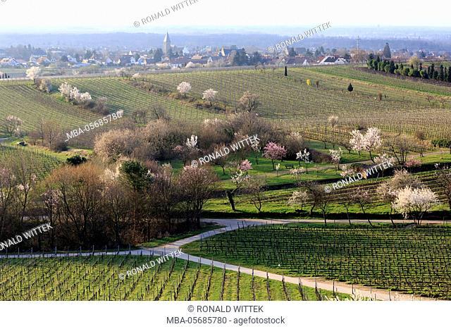 blossoming almond trees, Prunus dulcis, blossoming, Rhinland Palatinate, Gimmeldingen, Germany, spring, blossoming, 'Südliche Weinstrasse'