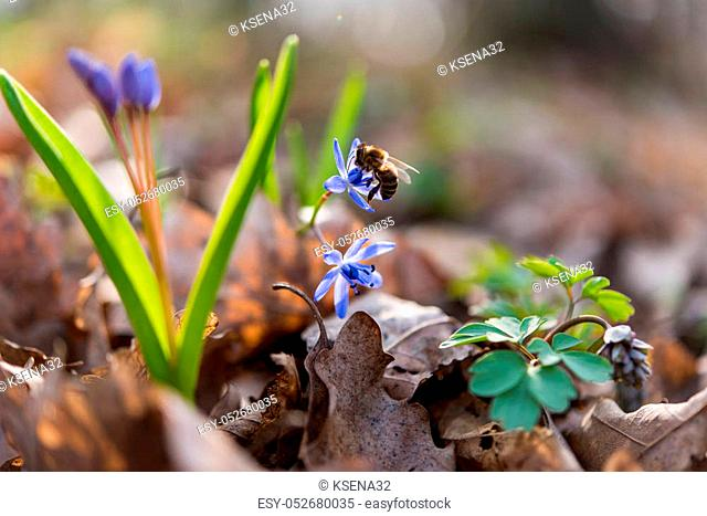 unblown wild growing squill (Scilla bifolia), blue early spring flower