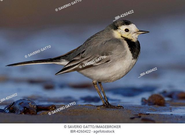 White wagtail (Motacilla alba), adult standing on sand, Campania, Italy
