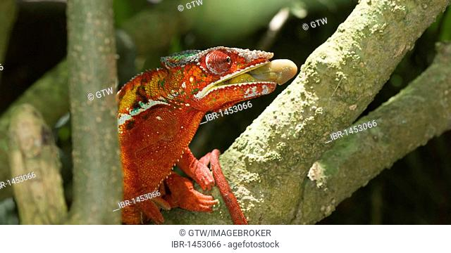 Panther Chameleon (Furcifer pardalis) preparing to catch an insect, Madagascar, Africa