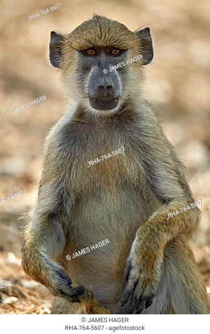 Yellow baboon (Papio cynocephalus), Selous Game Reserve, Tanzania, East Africa, Africa