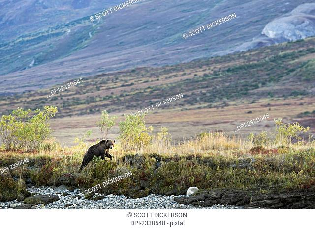 A bear in the brooks range gates of the arctic national park northwestern alaska;Alaska united states of america