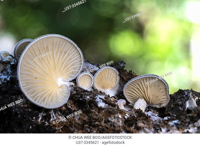 Mushrooms at Stutong Forest Reserve Park, Kuching, Sarawak, Malaysia
