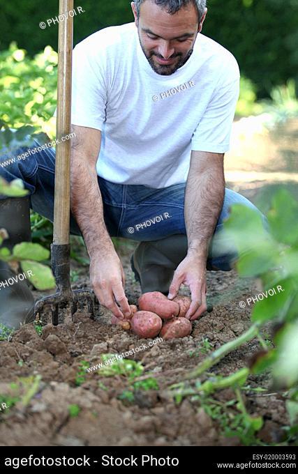 Man in garden kneeling down by potatoes