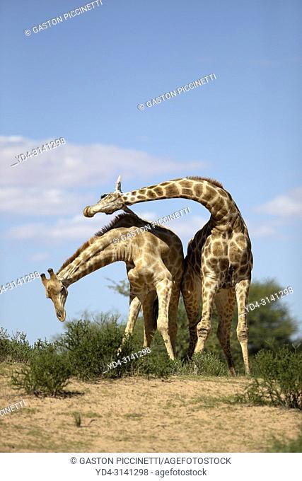 Giraffe (Giraffa giraffa giraffa), fighting, Kgalagadi Transfrontier Park, Kalahari desert, South Africa/Botswana