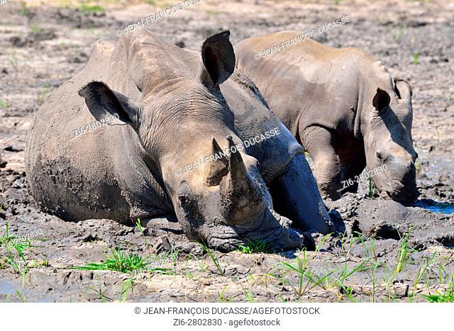 White rhinoceroses or Square-lipped rhinoceroses (Ceratotherium simum), mother with calf, in the mud, Kruger National Park, South Africa, Africa