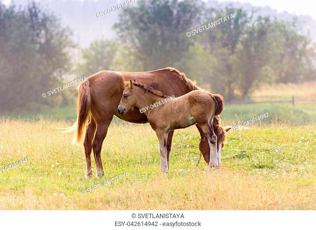 Red horse and her foal grazing on a pasture